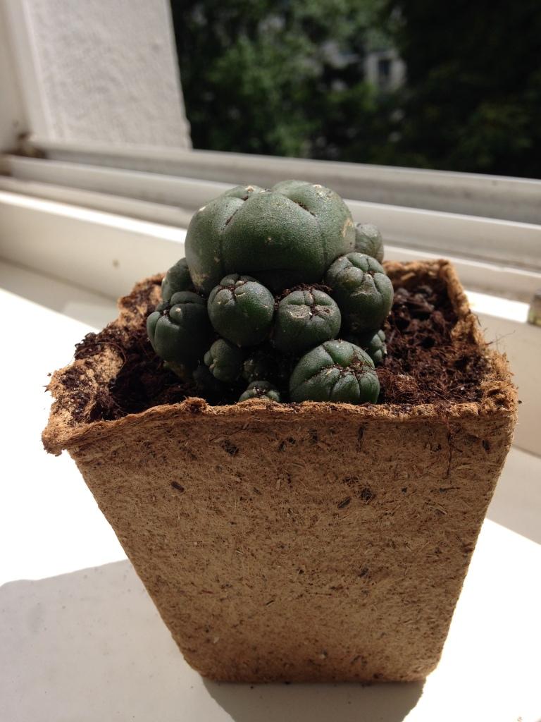 David Zobrist Cactus Mescalin